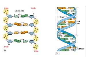 Cấu trúc của ADN trong cơ thể sinh vật