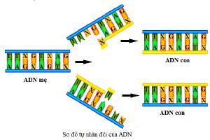 ADN có vai trò trọng trong duy trì nòi giống